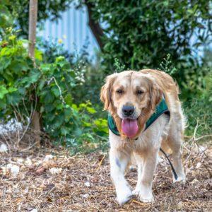 כלבי-שירות-המרכז-להכשרת-כלבי-שירות (11)
